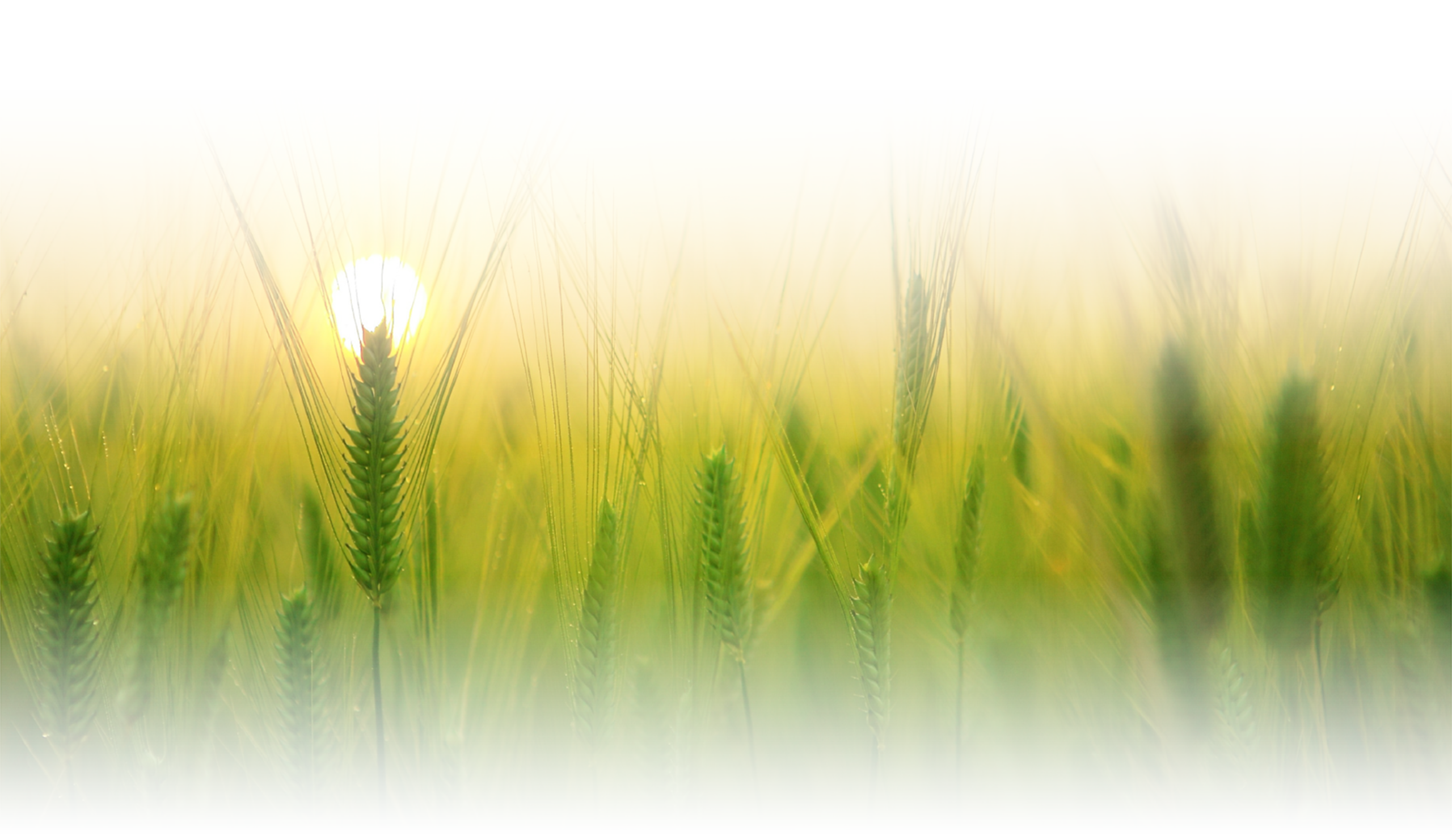 """<img src=""""wheat.png"""" alt=""""wheat image in the sunset"""">"""
